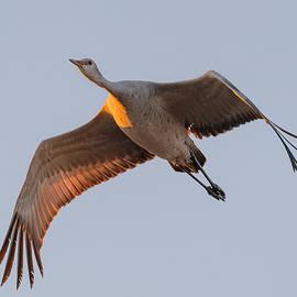 Sandhill Crane In Flight #2 by Morris Finkelstein