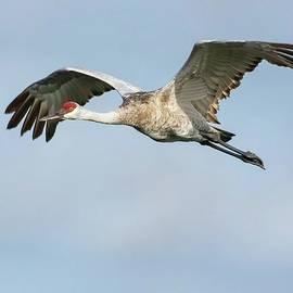 Sandhill Crane In Flight by Rebecca Herranen