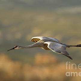 Sandhill Crane in Flight by Robert Goodell