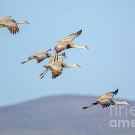 Sandhill Cranes #3 by William Meeuwsen