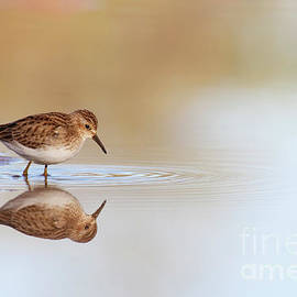 Sandpiper at Sunrise by Ruth Jolly