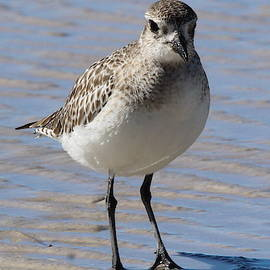 Sandpiper Strolling on the Beach by Brian Baker