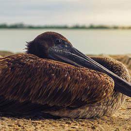 Sanibel Islands Pelican by Jose Encarnacion