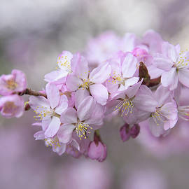 Sargent's Cherry Pink Flowers 1 by Jenny Rainbow