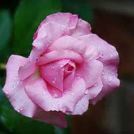 Saturated Belindas Dream Rose by Marilyn DeBlock