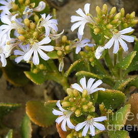 Scaevola hookeri, Native Wildflower.  by Rita Blom