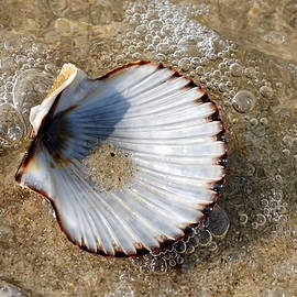 Scallop Shell on the Beach by Lyuba Filatova