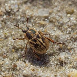 Scarab Beetle by Megan McCarty