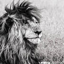 Scarface the Lion by Karen Van der Kolk