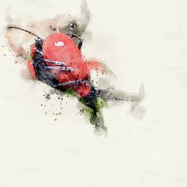 Scarlet Lilly Beetle, Watercolour by Darren Wilkes