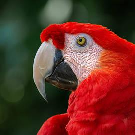 Scarlet Red Macaw by Rebecca Herranen