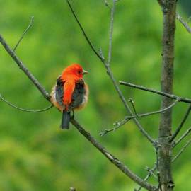 Scarlet Tanager by Rachel Ewers