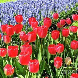 Scarlet Tulips and Blue Grape Hyacinths by Kathryn Jones
