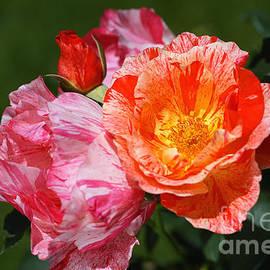 Scentimental Rose Flowers by Joy Watson