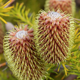 Scott River Banksia by Bruce Frye