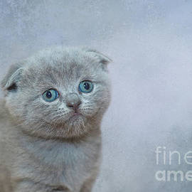 Scottish Fold Kitten by Elisabeth Lucas