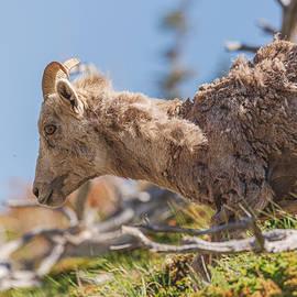 Scraggle Goat by Garth Steger