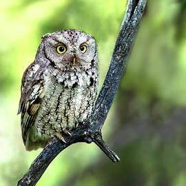 Screech Owl on a Branch by Judi Dressler