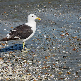 Sea Gull Walking on Sand by Sally Weigand