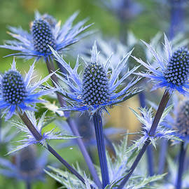Sea holly by Angie C