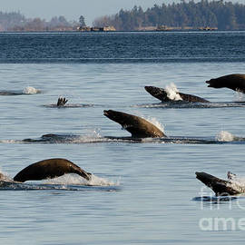 Sea Lions On The Move 2 by Bob Christopher