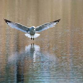 Seagull Landing on the Water by Marlin and Laura Hum