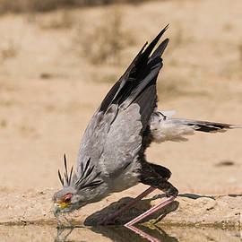 Secretary Bird Drinking by Robert Goodell