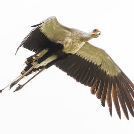 Secretarybird In Flight by Morris Finkelstein