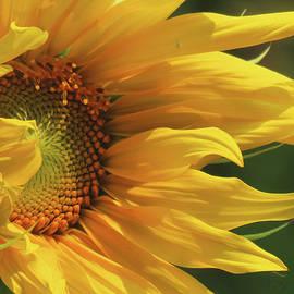 Sensational Sunflower - Floral Photography - Images From the Garden - Nature - Sunflower Art by Brooks Garten Hauschild