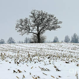Sentinel Tree Jay County, Indiana by Steve Gass