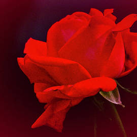 September 2021 Rose by Richard Cummings