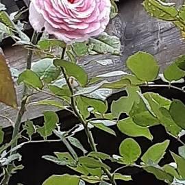 September Rose by Charlotte Gray