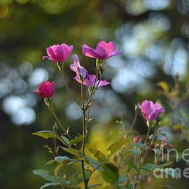 Rose of September by Miriam Danar