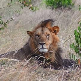 Serious Lion by Marta Kazmierska
