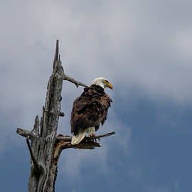Serpentine Point Eagle by Betty Depee