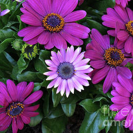 Shades of Pink - Vibrant Cape Daisies by Kathryn Jones