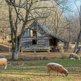 Sheep In The Yard by Lorraine Baum