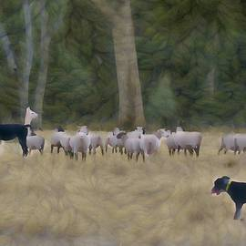 Sheepdog Herds While Alpacas Protect The Sheep by Joan Stratton