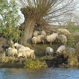 Sheeps on a dyke along a river side by Anita Gendt van