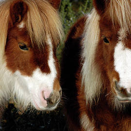 Shetland ponies New Forest National Park England by Loren Dowding