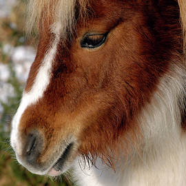 Shetland pony New Forest National Park England by Loren Dowding
