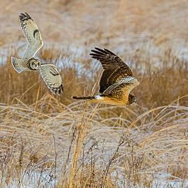 Short-Eared Owl Chasing A Harrier by Morris Finkelstein