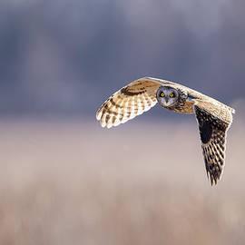 Short Eared Owl In Flight by Bill Van der Hagen
