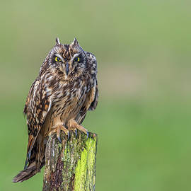 Short-eared owl portrait by SGR Photography