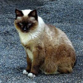 Siamese Cat by Lyuba Filatova