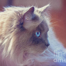 Siberian Blue Eyes by Sharon McConnell