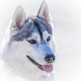 Siberian Husky Portrait by May Finch
