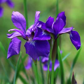Siberian Iris Beauty by Laura Blumenstiel