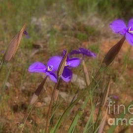 Silky Purple Flags - Patersonia sericea by Elaine Teague