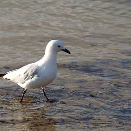 Silver Gull on the Hunt by Michaela Perryman